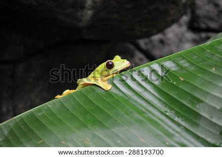 Frog in Costa Rica - stock photo