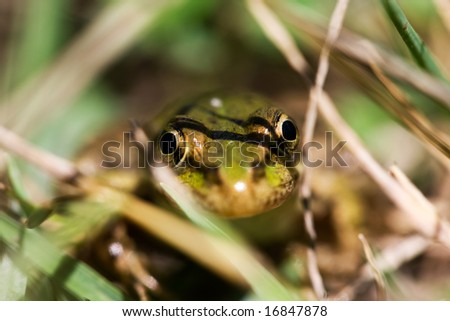 Frog in grass. Wild life photo