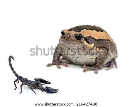 Frog in scorpion on White - stock photo