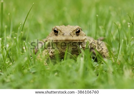 Frog in the grass, close up - stock photo