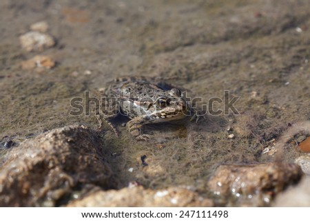 frog in the water - stock photo