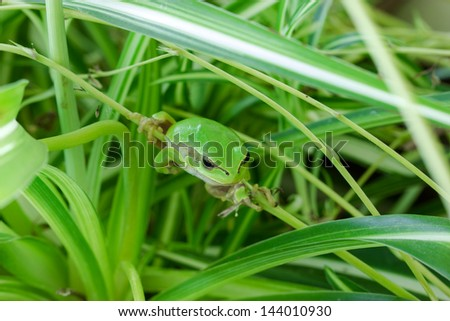 Frog is hiding in the leaves   - stock photo