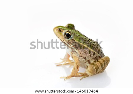 Frog isolated on a white background, and close-up pictures   - stock photo