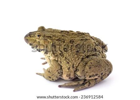 Frog isolated on White - stock photo