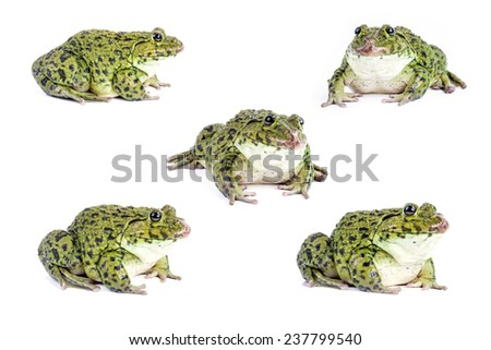 Frog isolated on white background. - stock photo