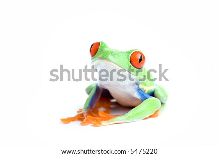 frog isolated on white - red-eyed tree frog posing, close up