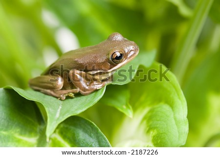 frog macro on leaves, limited depth of field with focus on eye, copyspace