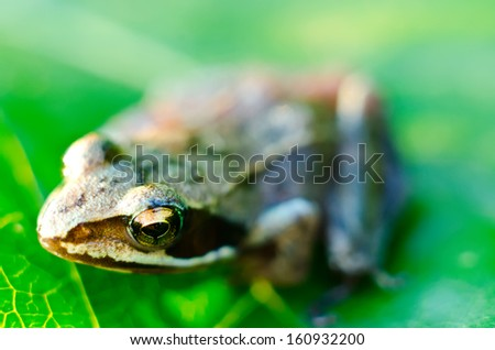 frog on a green leaf macro