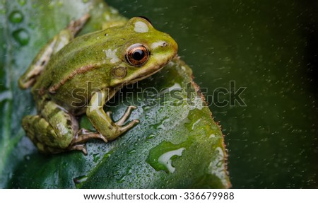 Frog on a leaf - stock photo