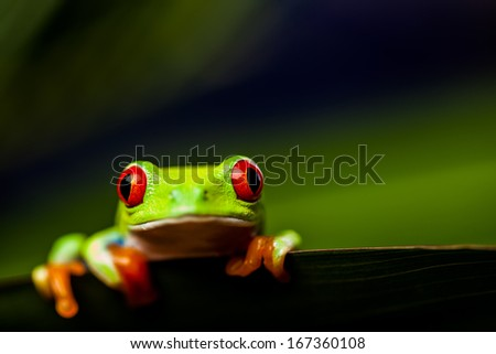Frog on a leaf in the jungle - stock photo