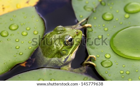 Frog Lily Pad Song Frog on Lily Pad a Macro