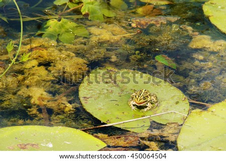 frog on water lily on the water - stock photo
