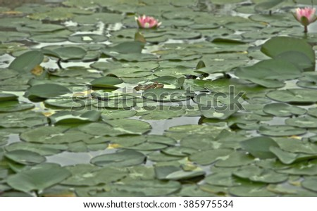 Frog Peeking Out From Lily Pads - stock photo