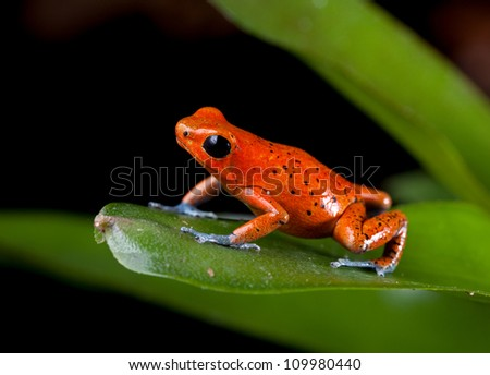 frog rainforest species of costa rica and panama kept as a pet in a terrarium ,, poison dart frog, oophaga pumilio exotic amphibian - stock photo