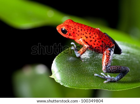 frog red strawberry poison dart frog on border of panama and costa Rica poisonous animal of tropical rainforest - stock photo