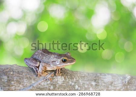 Frog, Shrub frog, Moss frog, Polypedates leucomystax on timber. - stock photo