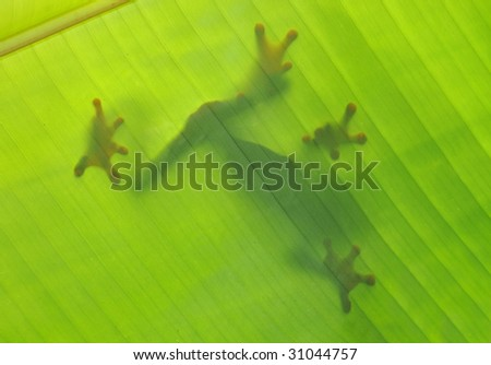 frog silhouette shadow outline banana leaf, drake bay, costa rica , latin america. red eye green tree frog in exotic tropical amphibian lush rainforest jungle setting - stock photo