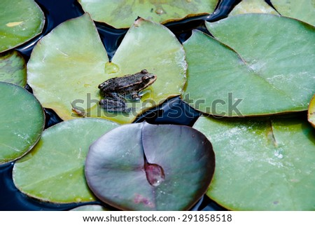 Frog sitting on a leaf in the water