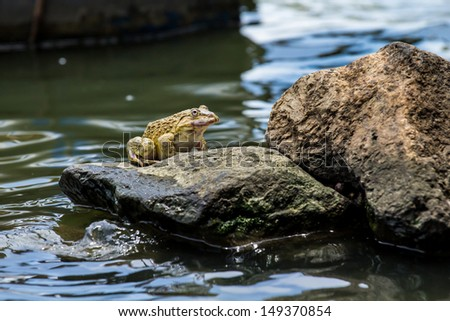 Frog sitting on a rock above the surface.