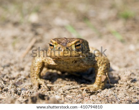 Frog sitting on the ground. Photographed close-up - stock photo