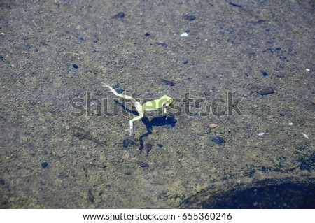 https://thumb1.shutterstock.com/display_pic_with_logo/167494286/655360246/stock-photo-frog-swimming-in-a-puddle-655360246.jpg