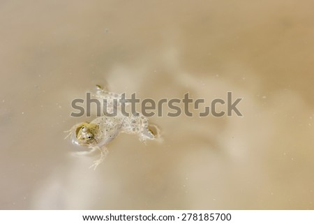 Frog swimming in the water. - stock photo
