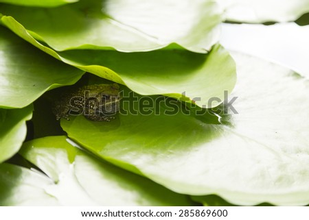 frog under leaf in the lake  - stock photo