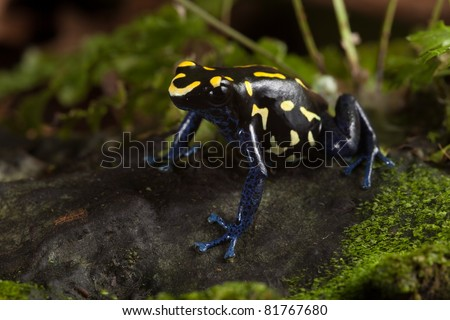 frog with bright yellow colors, a dart frog from amazon rain forest kept as an exotic pet in a terrarium. Poisonous tropical jungle animal lives in Brazil and guyana poison frog dendrobates tinctorius - stock photo