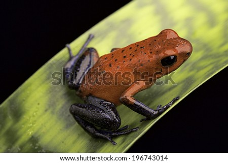 frog with red and blue strawberry poison dart frog Oophaga pumilio for Costa Rica tropical rain forest - stock photo