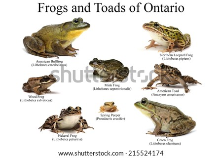 Frogs and Toads of Ontario on a white background - stock photo