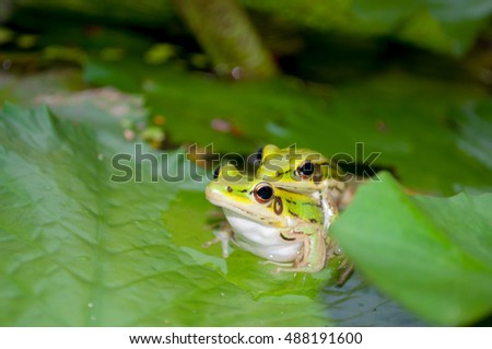 Frogs are mating on lotus leaf
