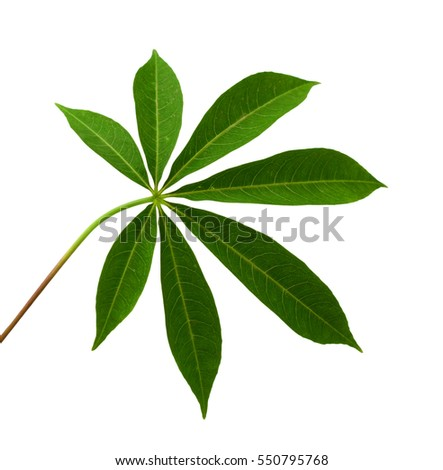 Front cassava green leaf isolated on white background
