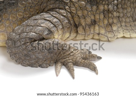 Front claw and scales of an Australian Fresh Water Crocodile on a white background.