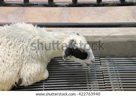 front eye view of sheep in a cage - stock photo