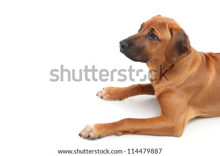 front half of the Rhodesian Ridgeback puppy lying on a white background