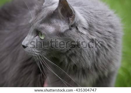 Front of a rare Nebelung cat with green eyes looking to the right, on green background
