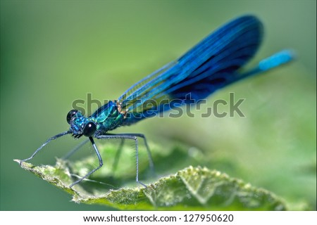 front of wild black  blue dragonfly coenagrion puella; on a leaf in the bush - stock photo