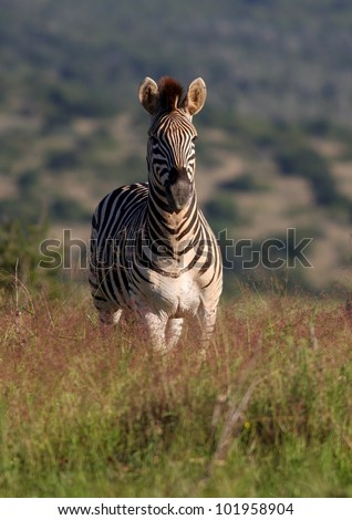Front on Portrait of a Burchell Zebra taken at a low angle in Addo elephant national park,South Africa - stock photo