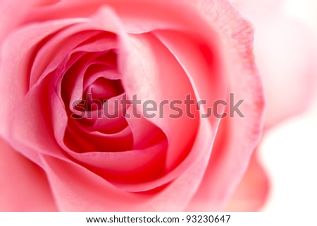 Front view close up of a pink rose - stock photo