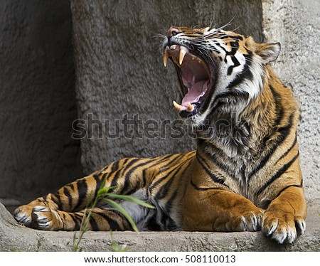 Tiger Roar Stock Images, Royalty-Free Images & Vectors ... - photo#33