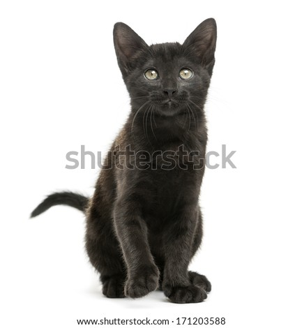 Front view of a Black kitten sitting, looking up, 2 months old, isolated on white