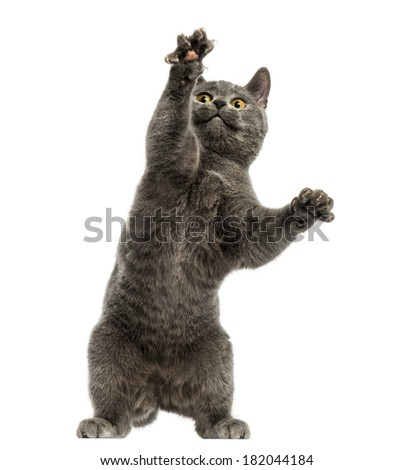 Front view of a Chartreux kitten on hind legs, pawing up, 6 months old, isolated on white - stock photo