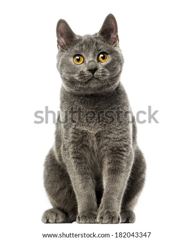 Front view of a Chartreux kitten sitting, 6 months old, isolated on white