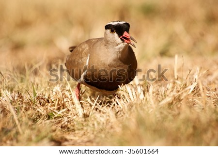 Front view of a Crowned Plover. - stock photo