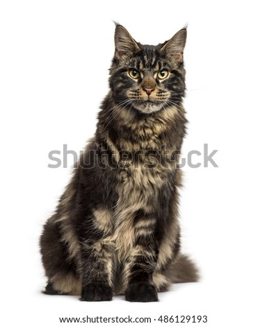 Front view of a Maine Coon cat sitting and looking at the camera isolated on white