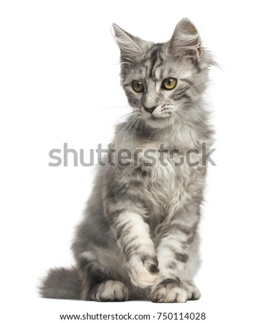 Front view of a Maine-Coon kitten sitting, 4 months old, isolated on white