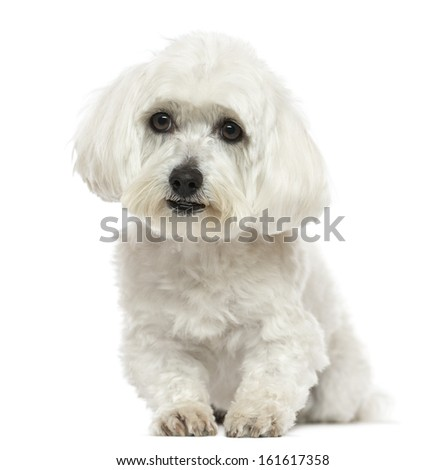 Front view of a Maltese lying down, isolated on white