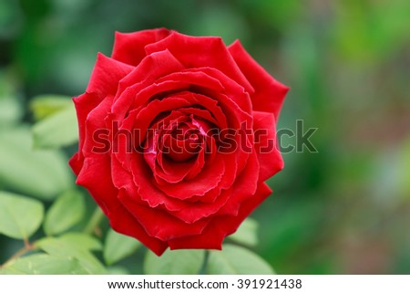 Front view of a single crimson red rose outdoors in full bloom. Soft blurred green background. Copy space to the right.