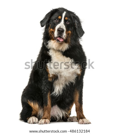 Front view of a Wet Bernese Mountain dog sitting and panting isolated on white