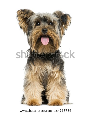 Front view of a Yorkshire Terrier sitting, panting, 9 months old, isolated on white - stock photo